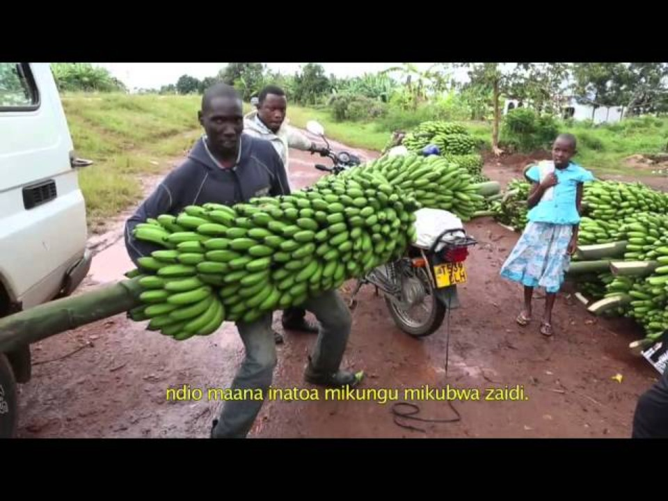Innovation in banana cropping…