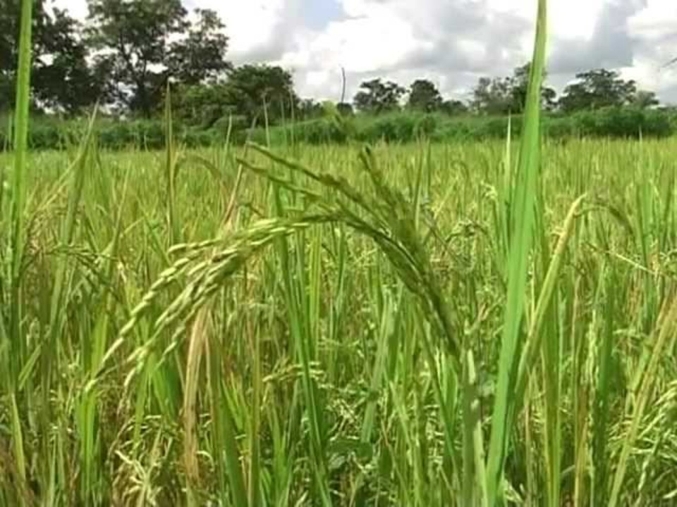 Improving rice quality