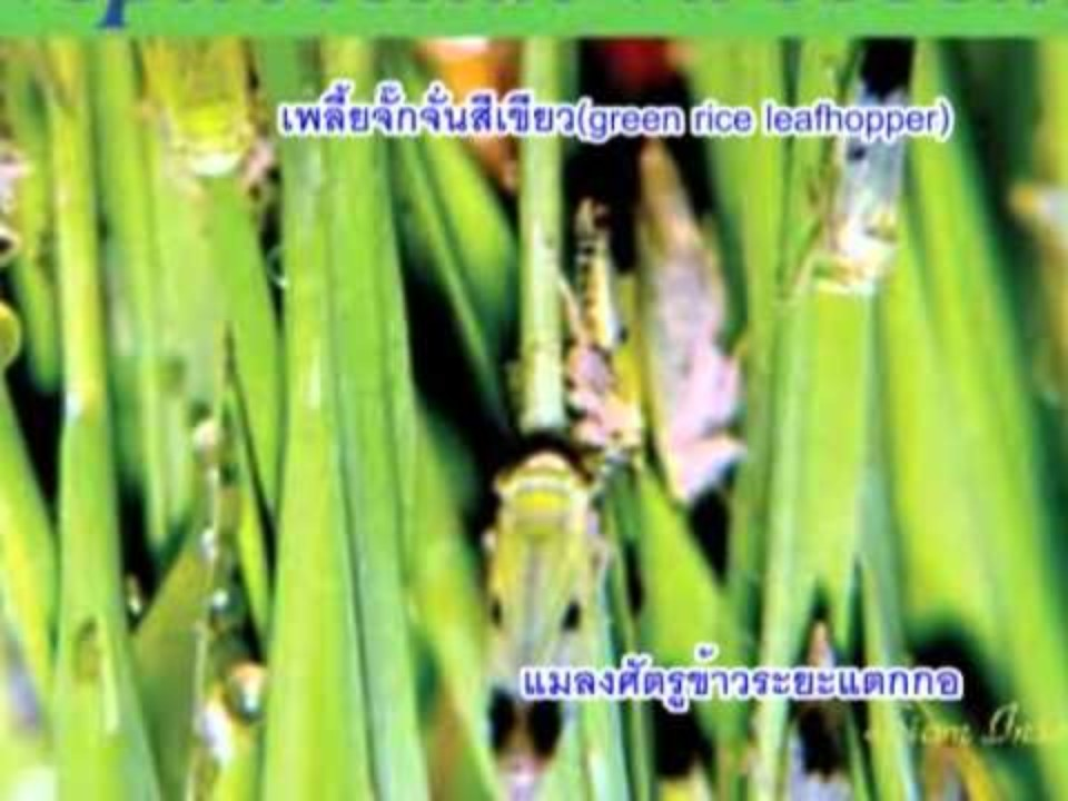Rice farming (Thai)