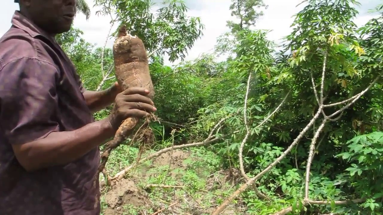 You can eat some cassava varieties…