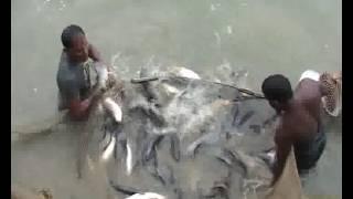 Pond fish production