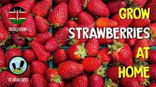 Growing strawberries at home for…