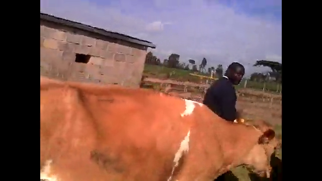 Training cows