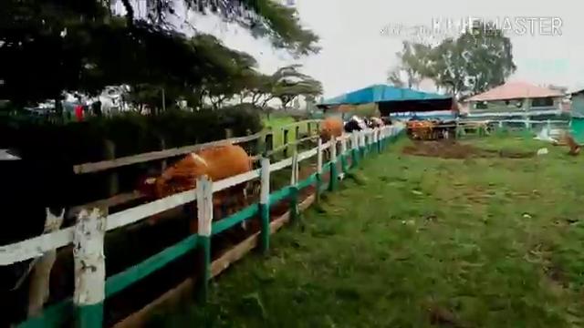 Milk production at egerton…