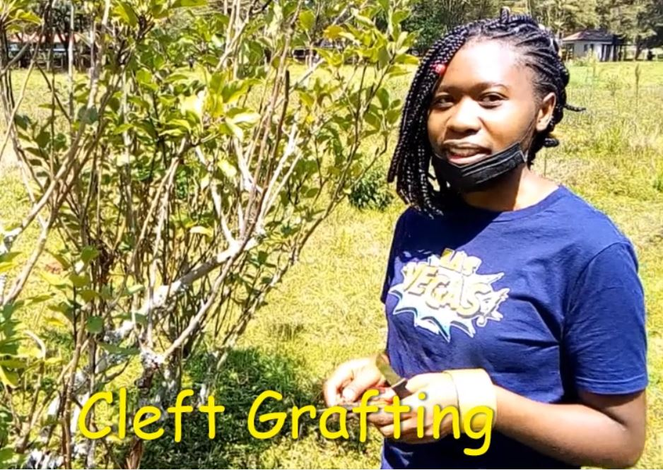 Cleft Grafting in Apple Trees