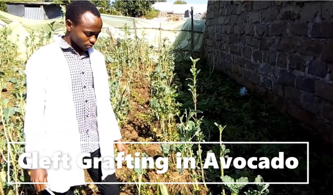 Cleft Grafting in Avocado Trees