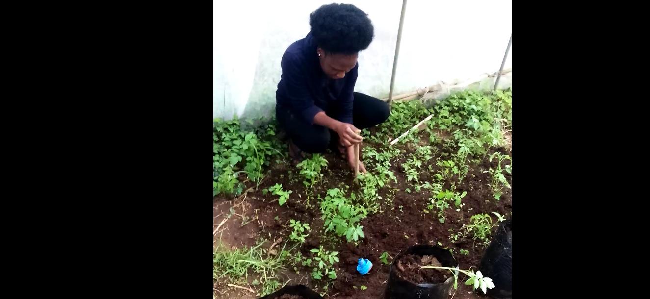 Growing Tomatoes under geenhouse