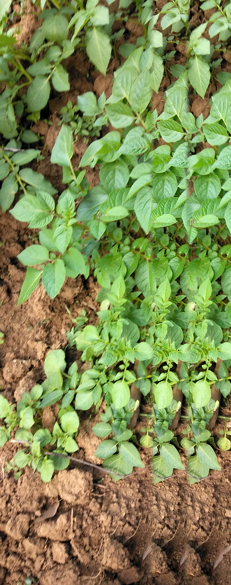 Earthing up in potatoes