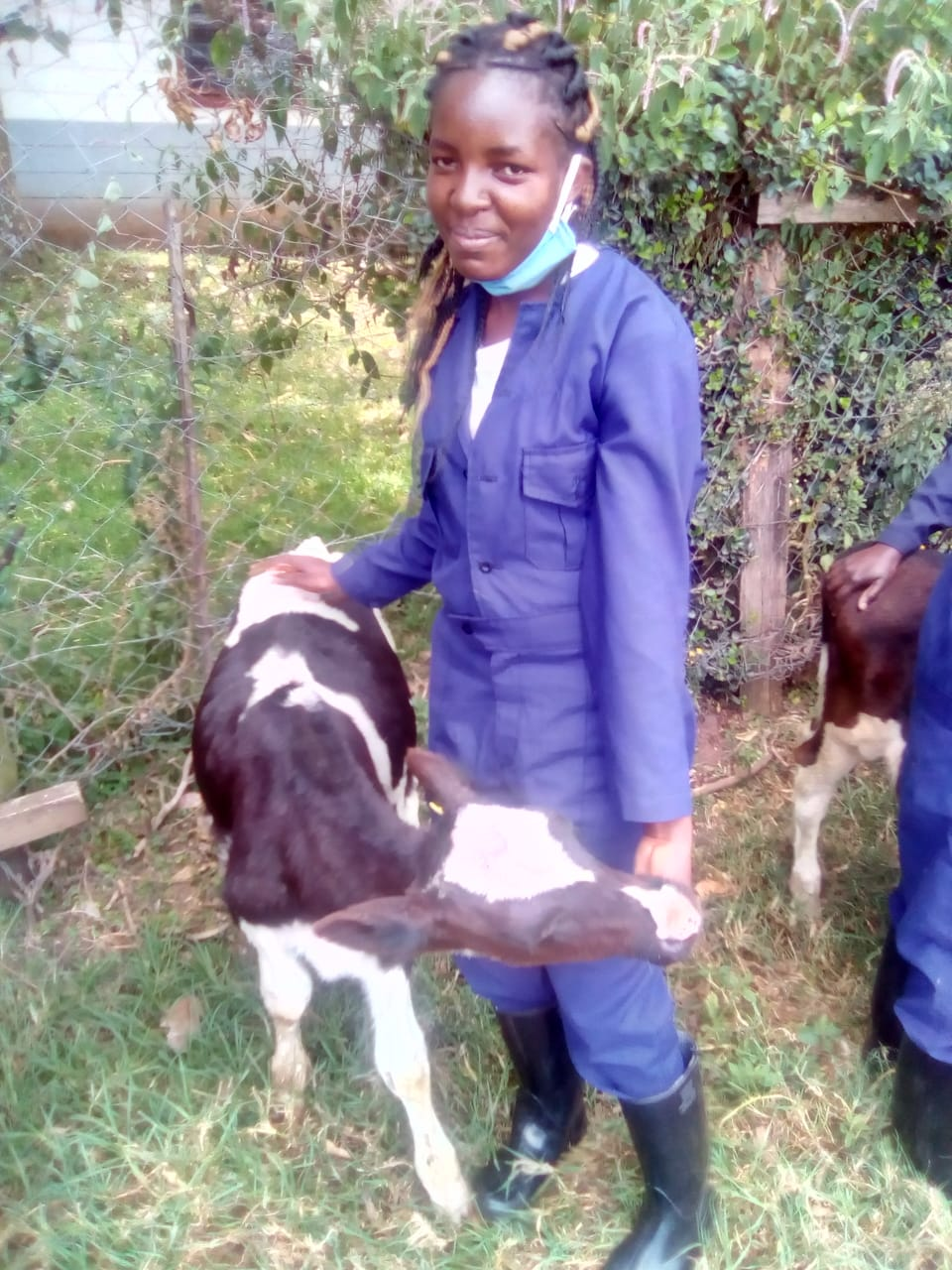 Restraining a cow using…