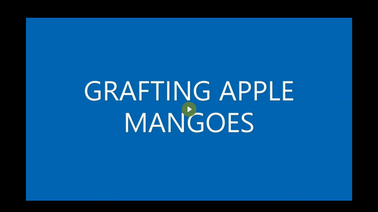 GRAFTING OF APPLE MANGOES