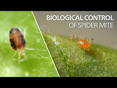 Biological control of spider mite