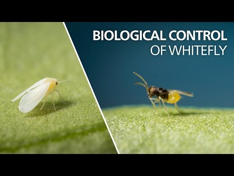 Biological control of whitefly -…