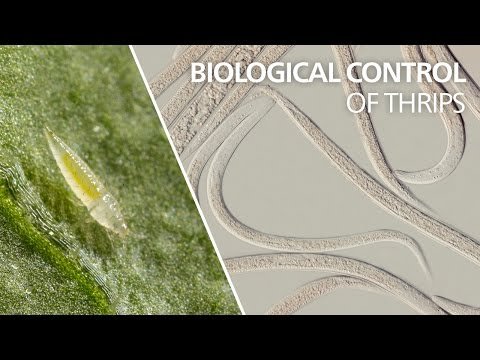 Biological control of thrips -…