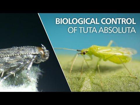 Biological control of Tuta absoluta - Ma…