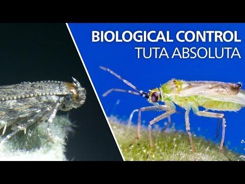 Biological control of Tuta absoluta - Ne…