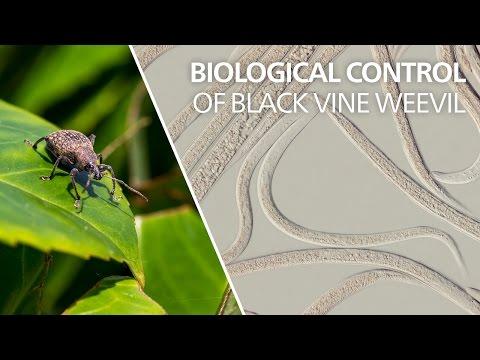 Biological control of black vine weevil…