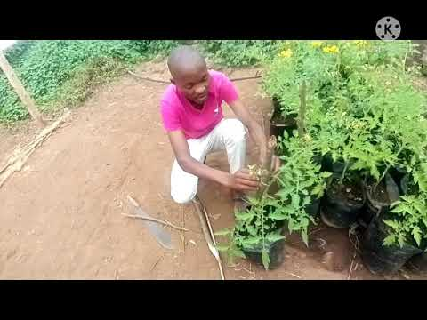 CARRYING OUT STAKING IN TOMATO