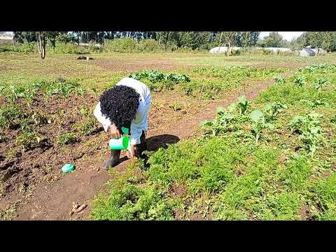 Carrot Harvesting and Storage…