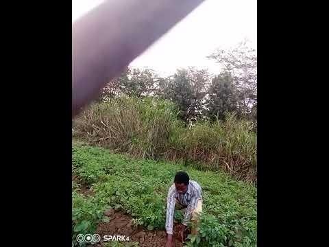 Earthing up of potatoes