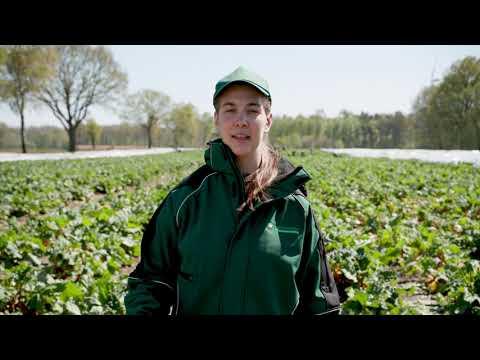 Harvesting Vegetables (Rhubarb):…