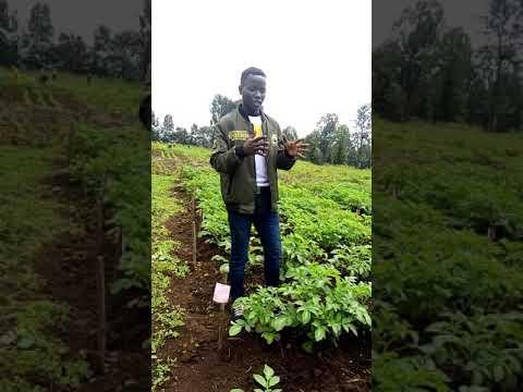 How to grow solanum tuberosum (…