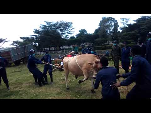 How to restrain a cow?