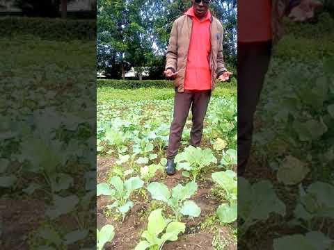 Kales production