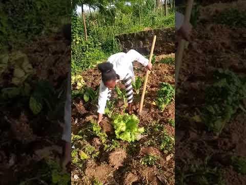 Lettuce production
