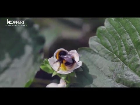 Strawberry pollination with…