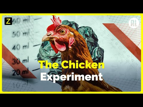 The Chicken Experiment
