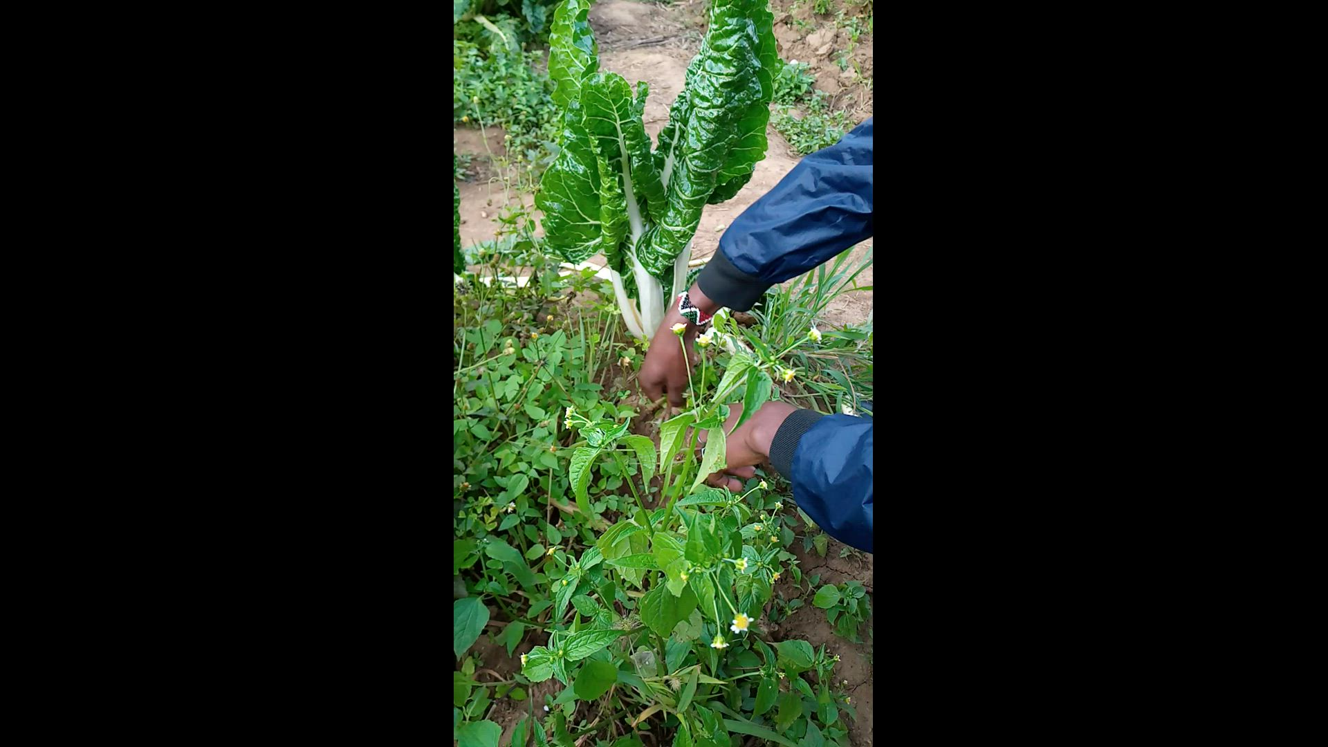 WEED MANAGEMENT IN VEGETABLES(…