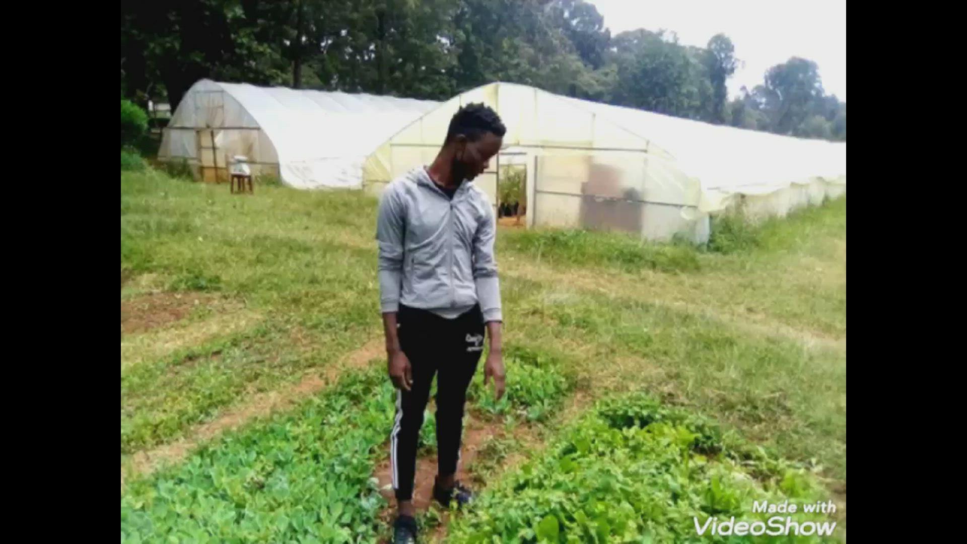 Transplanting of spinach…